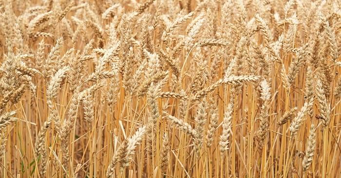 Pšenica a jej sadba